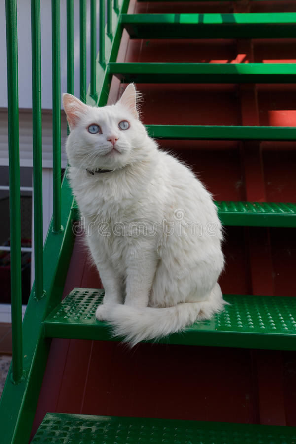 Feline look White cat with blue eyes. Green stock image