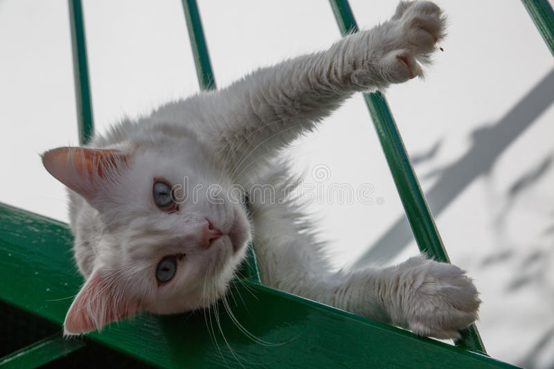 Feline look White cat with blue eyes. Green stock photo