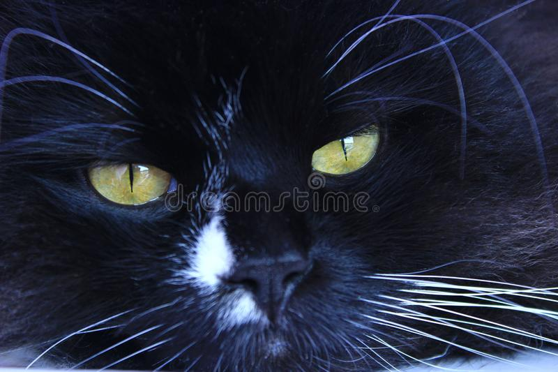 Feline muzzle lying and sleeping. Cat close up. Black cat sleepeng. Lazy cat. Domestic animal stock photo