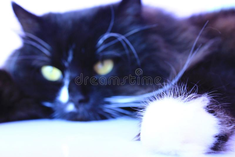 Feline muzzle lying and sleeping. Cat close up. Black cat sleeping. Lazy cat. Domestic animal stock photography