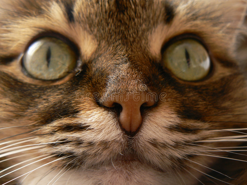 Feline nose. Close-up (Siberian cat royalty free stock photos