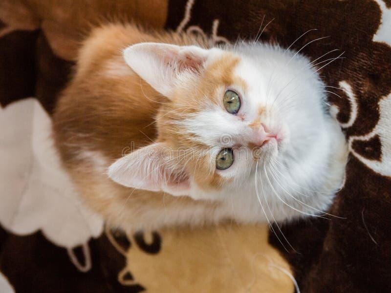 Felis amarillo del luctus de Nulla del gato fotos de archivo