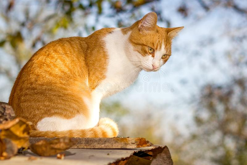 Felis catus, a domestic cat sits stock photo