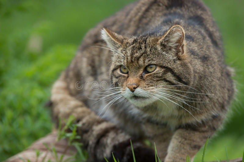 Felis sauvage écossais Silvestris Grampia photographie stock libre de droits