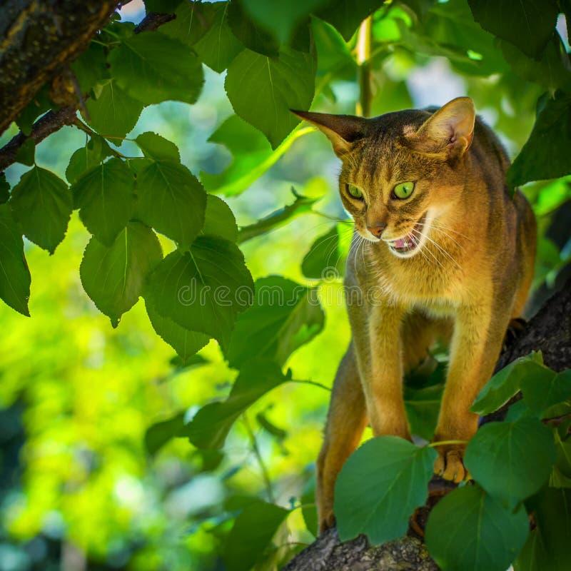 Feliscatus toont een bittere grungezitting op een tak van de appelboom aan stock foto