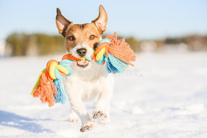 Feliz cão adorável traz um brinquedo de corda correndo na neve no dia quente de inverno fotografia de stock