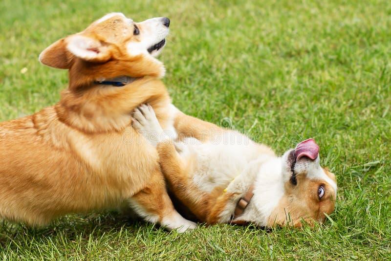 Feliz cachorro de córgi engraçado foto de stock royalty free