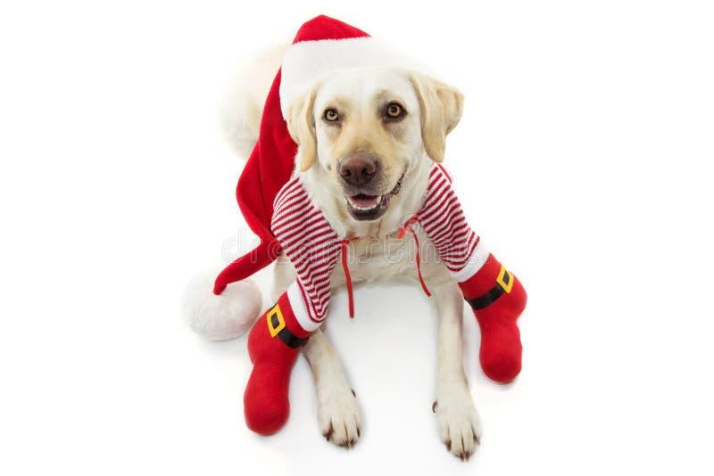 Feliz dpg celebrando Navidad con un disfraz de santa. Aislado en el fondo blanco foto de archivo libre de regalías