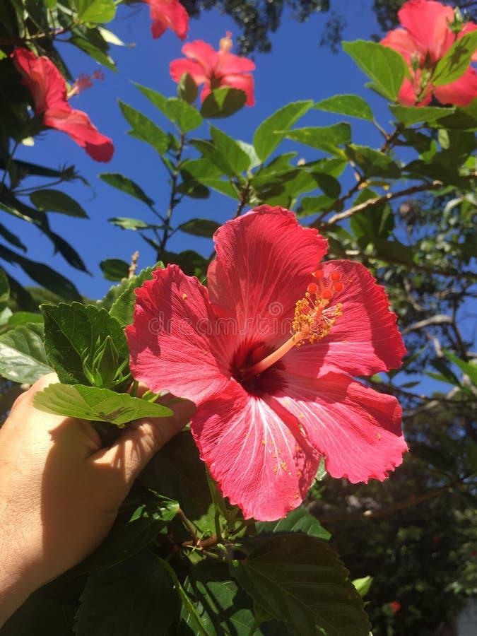 Feliz hibisco en Suramérica fotografía de archivo