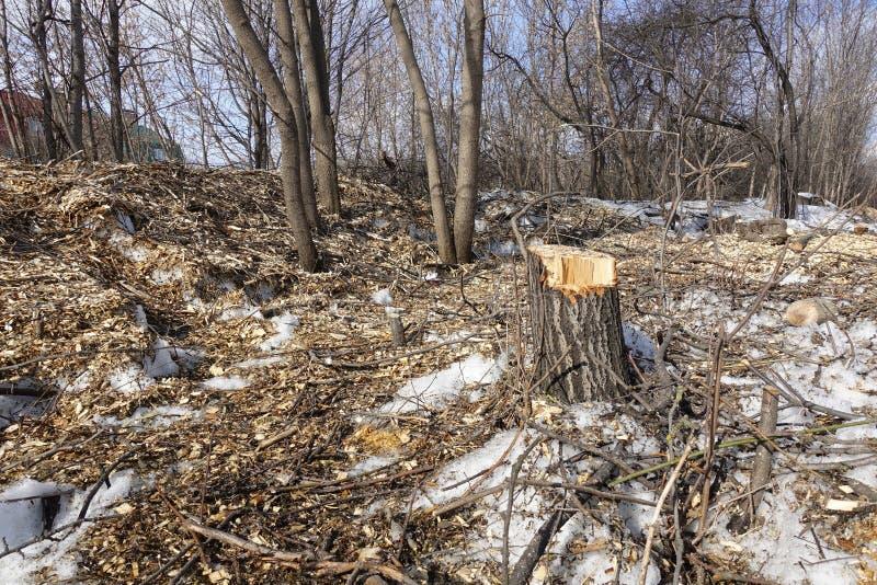 Felled Bomen Stomp en houten spaanders Het concept slechte ecologie Het verminderen van Bomen royalty-vrije stock foto