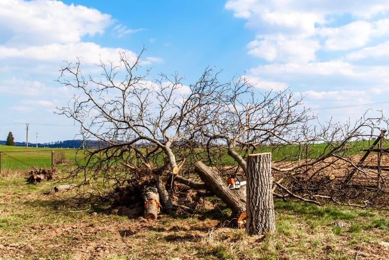 Felled butternut Het tuinieren Het Felling van fruitbomen Zonnige dag in de boomgaard stock foto's