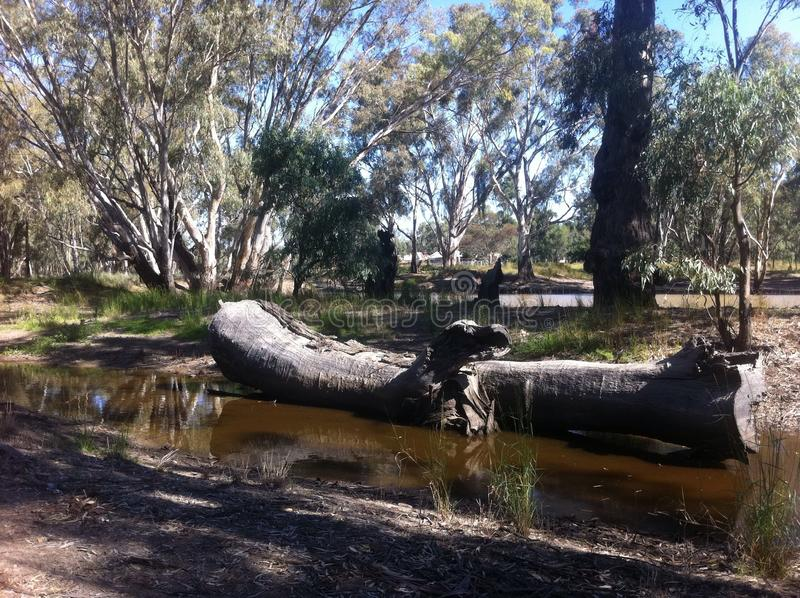 Felled log in Barmah Forest. stock image