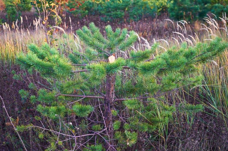 Felled spruce, pine. Poaching. Deforestation. Spruce needles royalty free stock photo