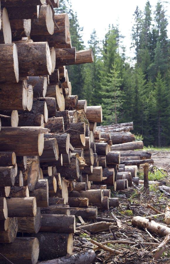 Felled trees near coniferous forest