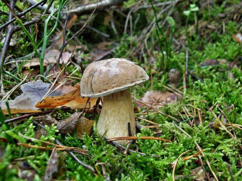 Felleus di tylopilus del fungo immagine stock libera da diritti