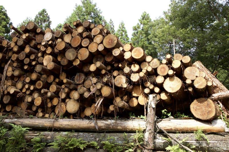 Felling of cedar tree royalty free stock image