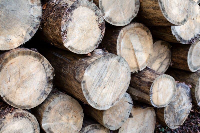 Felling da árvore A madeira do desflorestamento é uma fonte de energia renovável Madeira que colhe na floresta conífera foto de stock royalty free