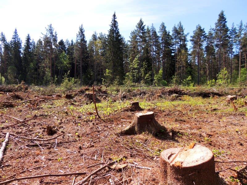 Felling da floresta spruce fotos de stock royalty free