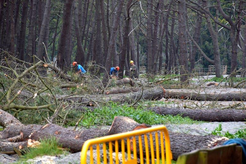 Felling das árvores em navia spain imagens de stock royalty free