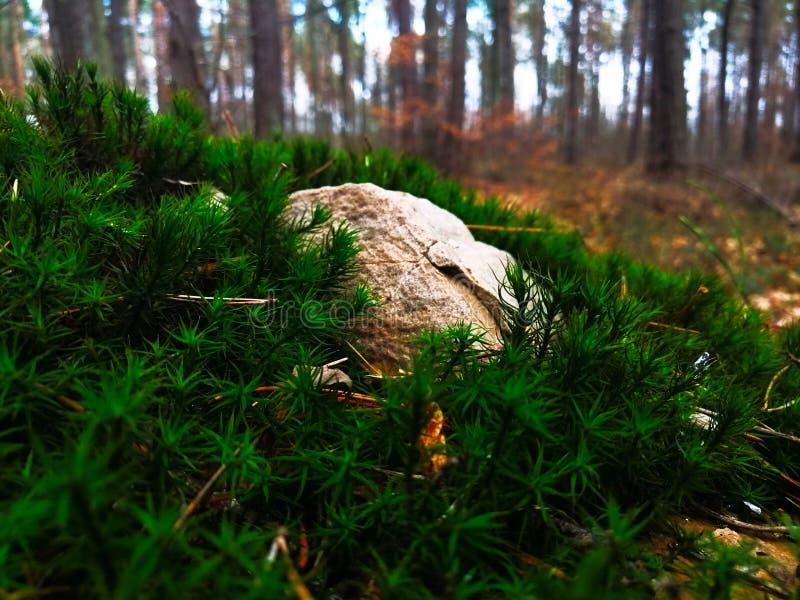 Felsen auf Moos im Wald lizenzfreie stockfotos