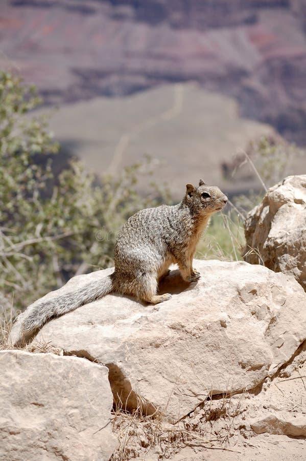 Felsen-Eichhörnchen auf hellem Angel Trail an Nationalpark Arizona Grand Canyon s stockfotos
