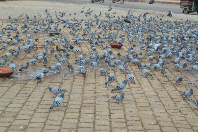 Felsen-Tauben-Vogel lizenzfreies stockbild