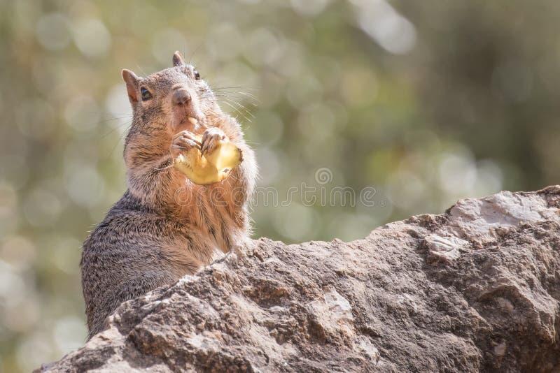 Felseneichhörnchen, das ein Bananenblatt in Grand Canyon isst lizenzfreie stockfotos