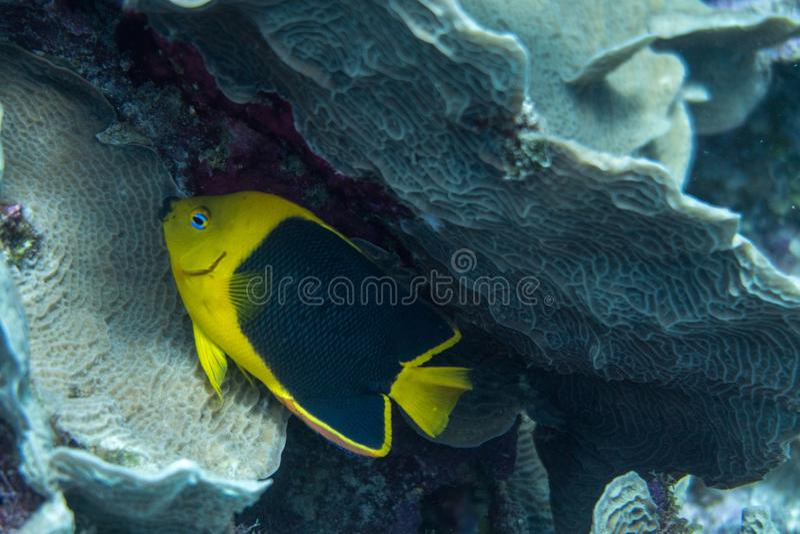 Felsenschönheit im Korallenriff lizenzfreies stockbild