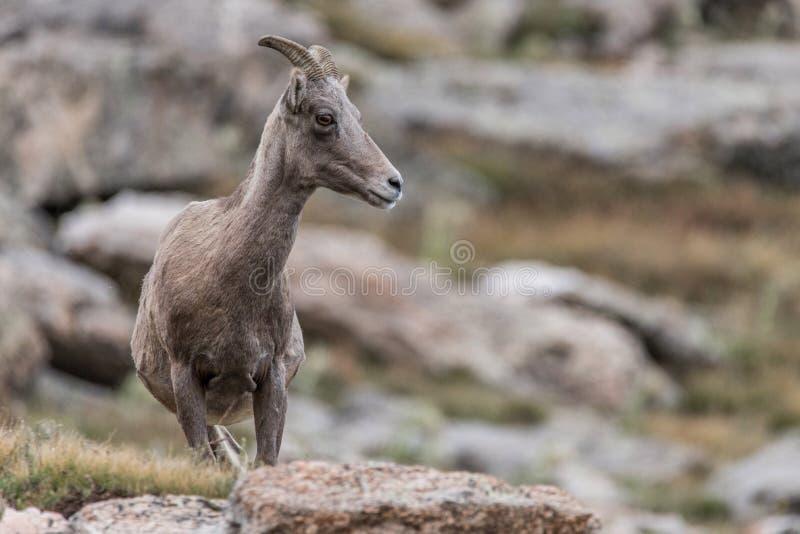 Felsiger Gebirgs-Colorado-Gebirgsziege stockbilder