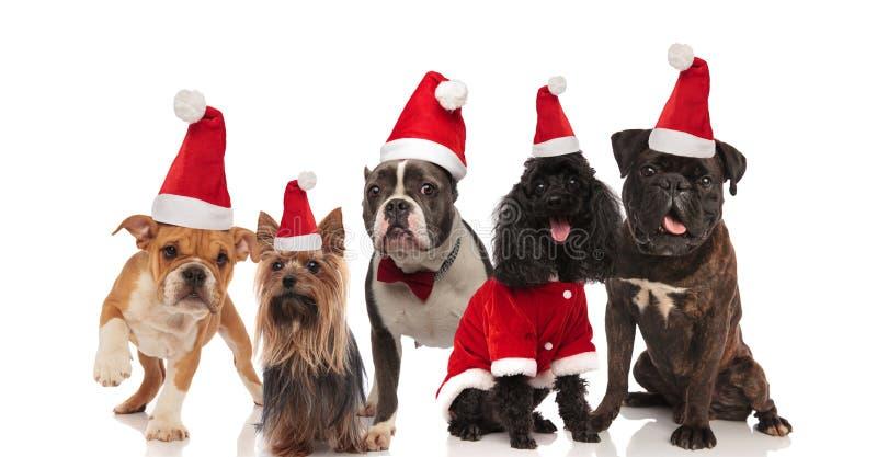 Fem älskvärda hundkapplöpning av olika avel som wering santa dräkter arkivbilder