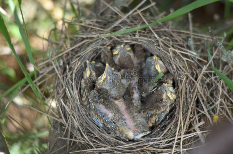 Fem behandla som ett barn fåglar av sångtrasten i redet arkivfoton