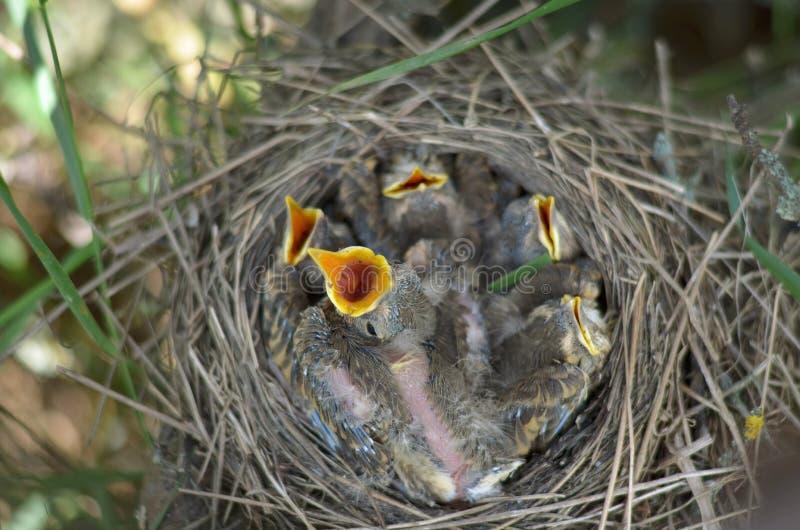 Fem behandla som ett barn fåglar av sångtrasten väntar på mat royaltyfri foto
