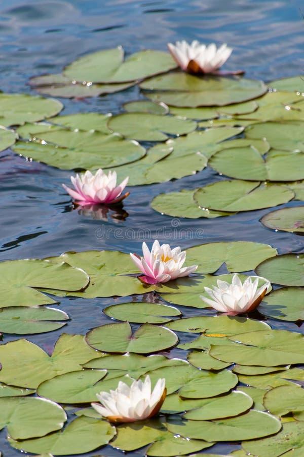 Fem blommande havsrosor i olika signaler av rosa färger royaltyfria foton