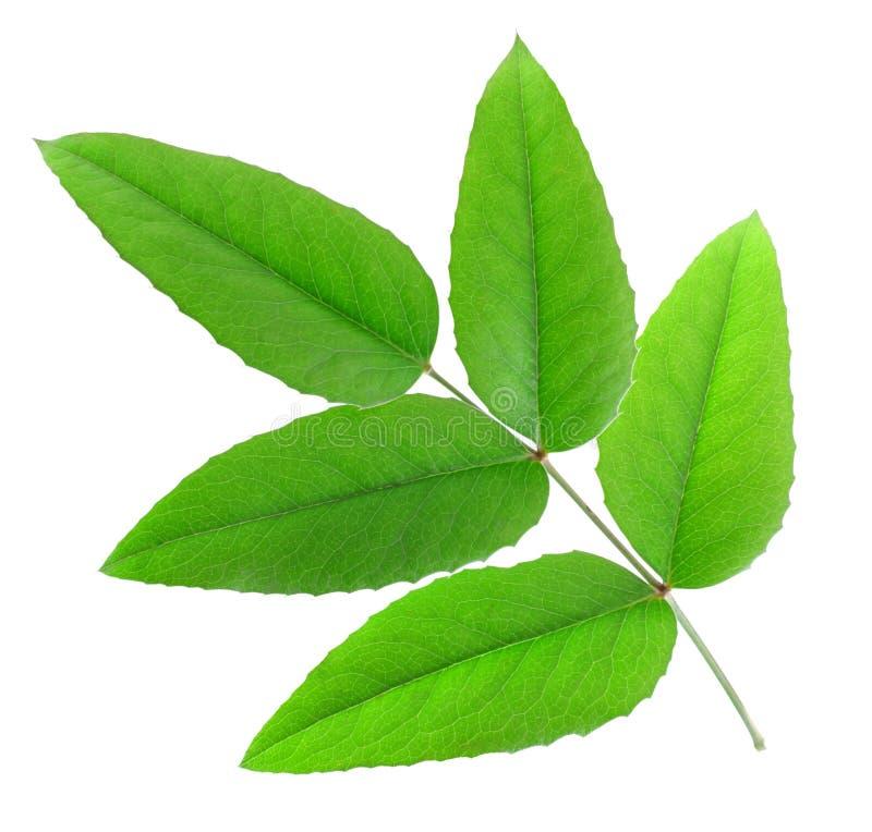 fem gröna leaves royaltyfri bild