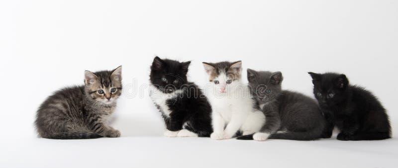 Fem gulliga kattungar på vit bakgrund fotografering för bildbyråer