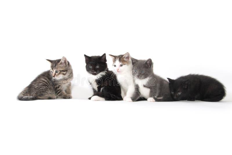 Fem gulliga kattungar på vit bakgrund arkivbild