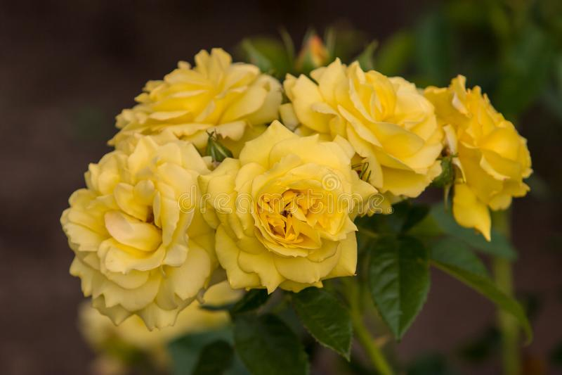 Fem knoppar av gula rosor för blommor på en buske Selektivt fokusera arkivfoton