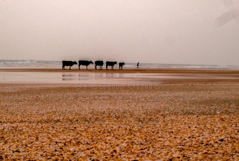 Fem kor och en man royaltyfri foto