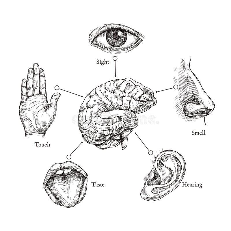 Fem mänskliga avkänningar Skissa munnen och ögat, näsan och örat, handen och hjärnan Uppsättning för klotterkroppsdelvektor stock illustrationer