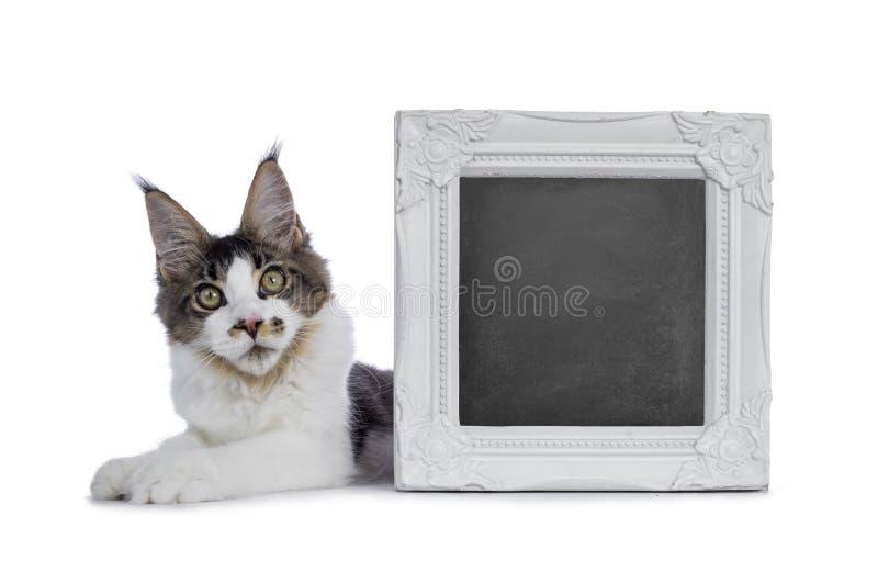 Fem månader Maine Coon kattunge på vit fotografering för bildbyråer