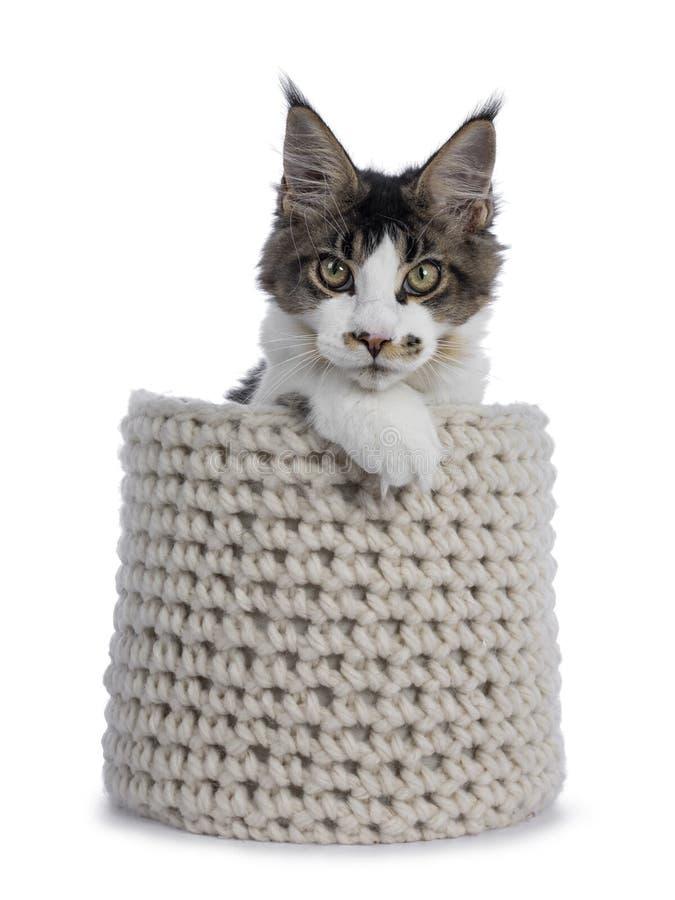 Fem månader Maine Coon kattunge på vit royaltyfri fotografi