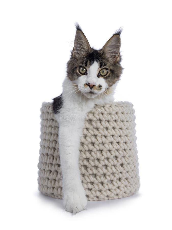 Fem månader Maine Coon kattunge på vit arkivfoton