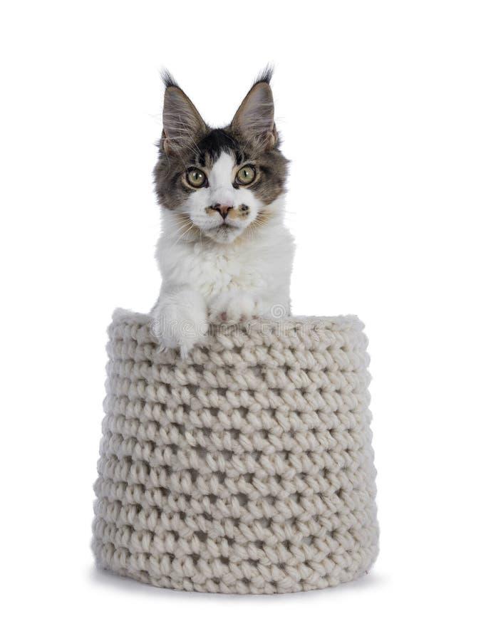 Fem månader Maine Coon kattunge på vit royaltyfri foto