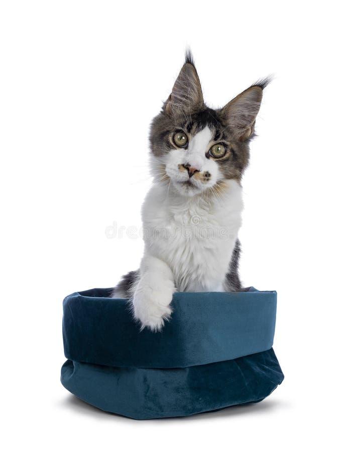 Fem månader Maine Coon kattunge på vit royaltyfria bilder