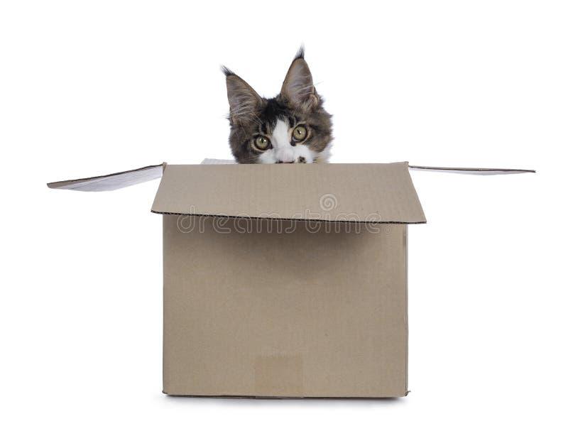 Fem månader Maine Coon kattunge på vit arkivbild