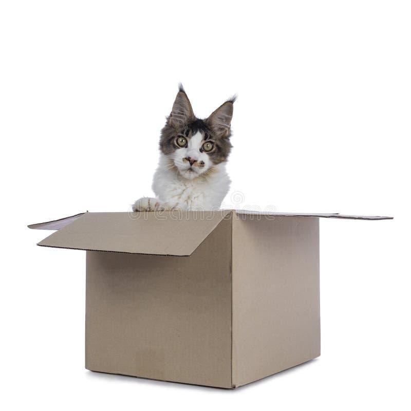 Fem månader Maine Coon kattunge på vit royaltyfria foton