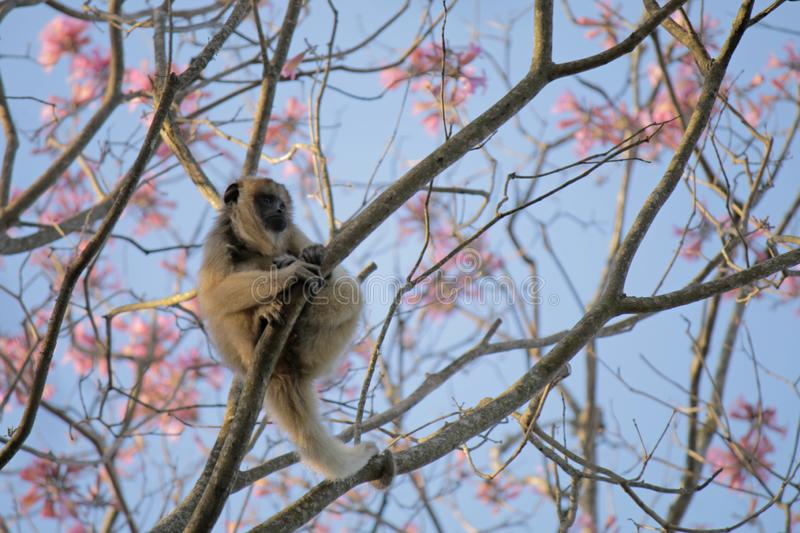 Fem Monkey on a tree full of flowers. A Fem Monkey looks far away on a tree full of pink flowers at Chaco, South America stock photography