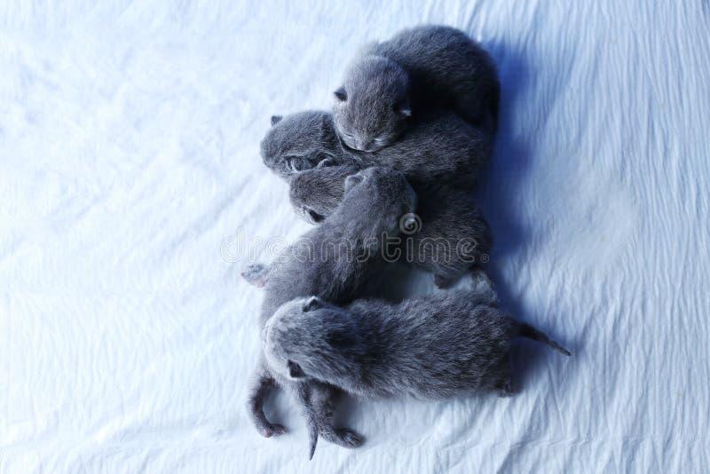 Fem nyf?dda kattungar, f? gamla dagar, sikt fr?n ?ver royaltyfria bilder