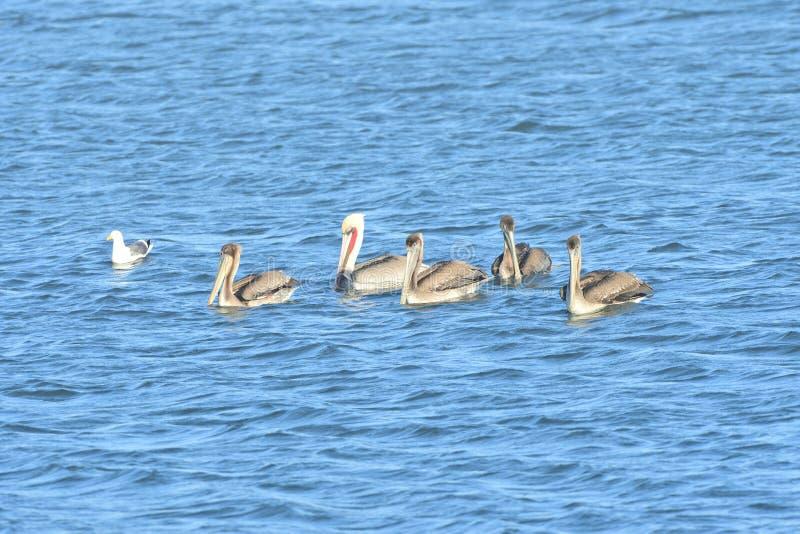Fem pelikan i mitt av sjön royaltyfria bilder