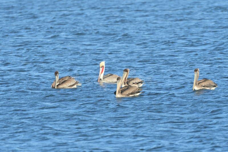 Fem pelikan i mitt av sjön royaltyfri bild